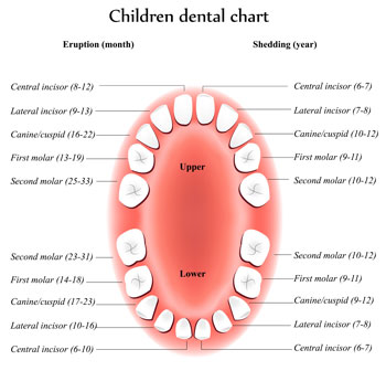 Tooth Eruption Chart - Pediatric Dentist in Littleton, CO